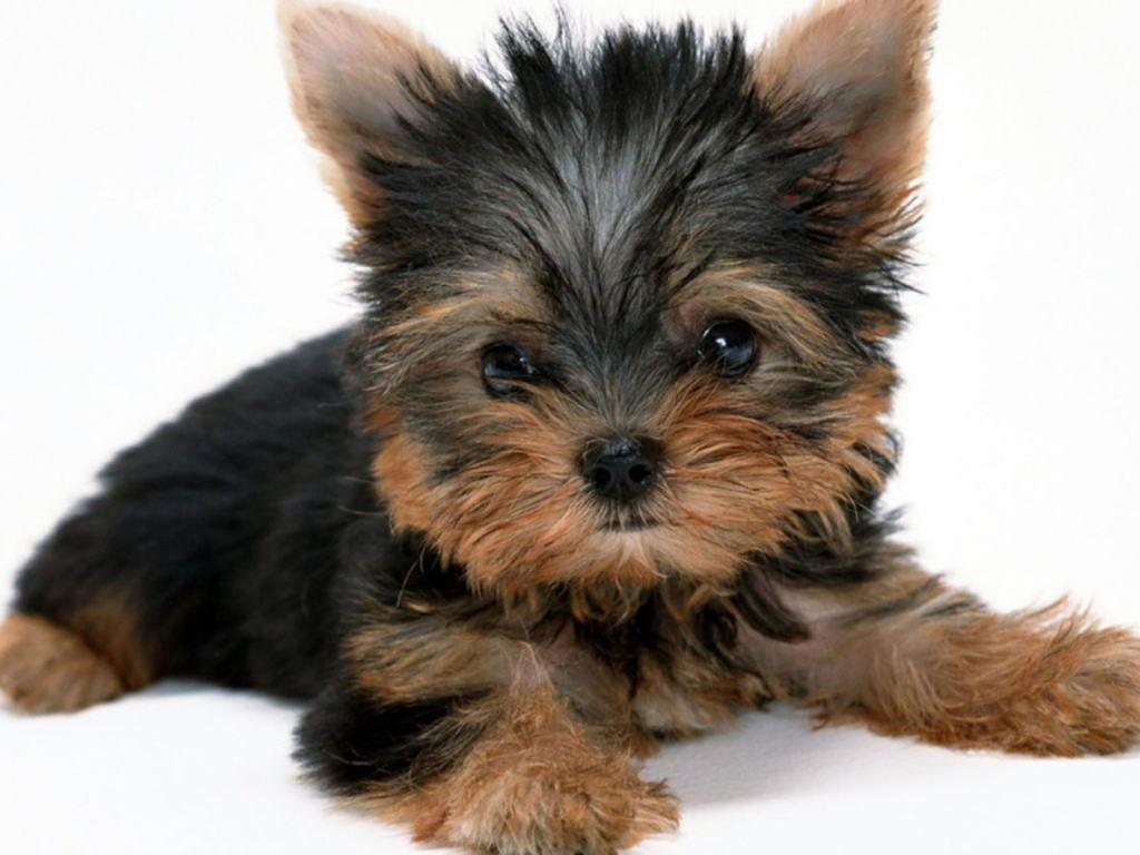 criadora y expositora de Yorkshire terrier en cadiz