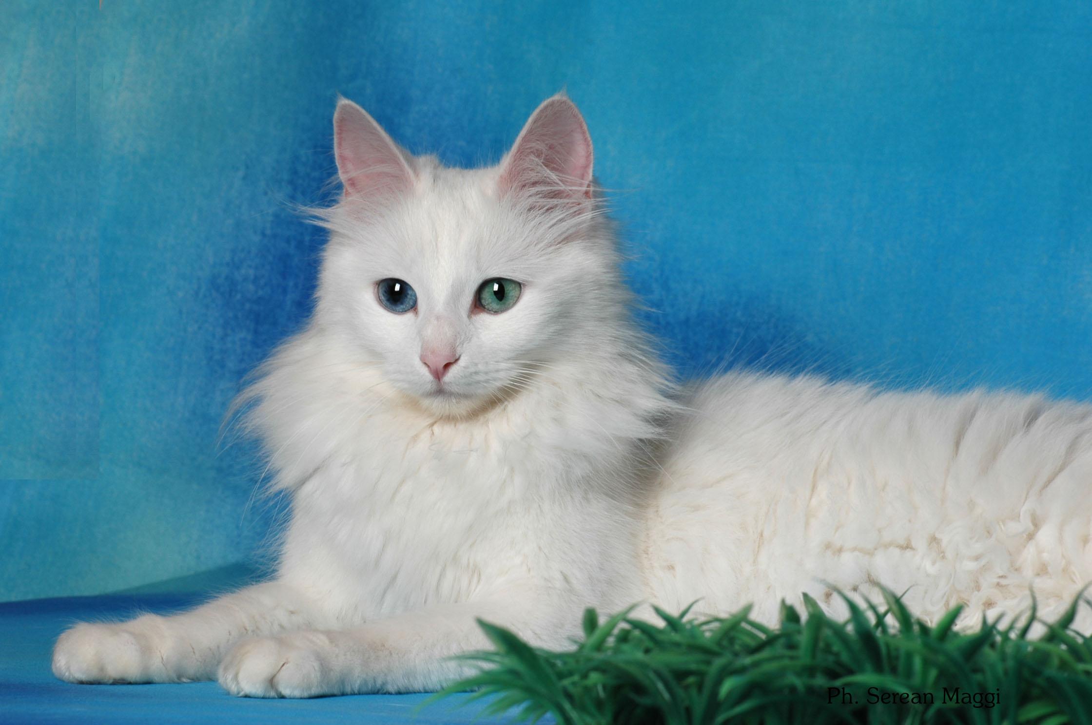 Fotos de gatos de angora 86