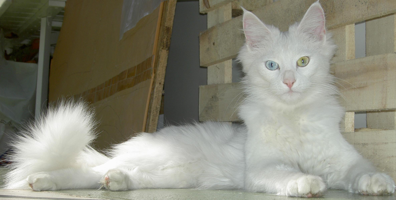 Fotos de gatos de angora 10